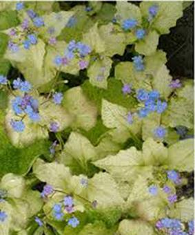 Brunnera macrophyla 'Golden Spring'