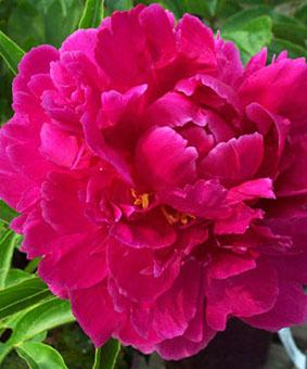 Paeonia 'Bunker Hill'