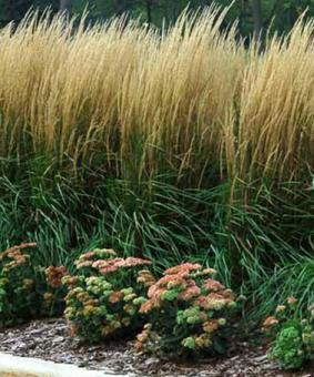 Calamagrostis aculiflora 'Karl Foester'