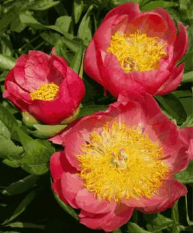 Paeonia 'Coral'n Gold'
