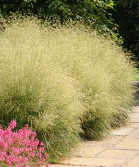 Deschampsia cespitosa 'Scotland'