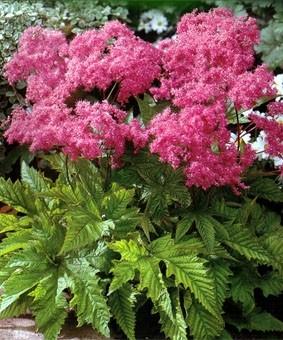 Filipendula purpurea 'Elegans'