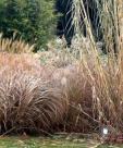 Grasses злаки и осоки