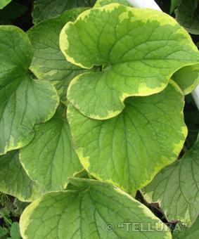 Brunnera macrophyla 'Handspen Cream'