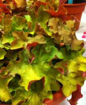 Heuchera 'Big Top Gold'