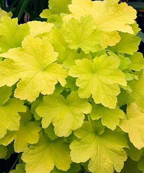 Heuchera 'Citronella' NEW 2018