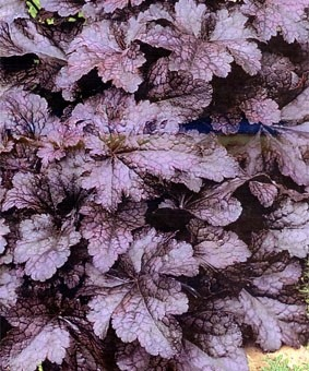Heuchera 'Cascade Down'