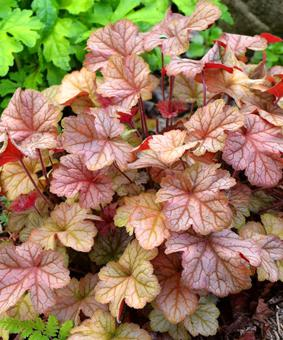 Heuchera 'Pinot Gris' NEW 2018