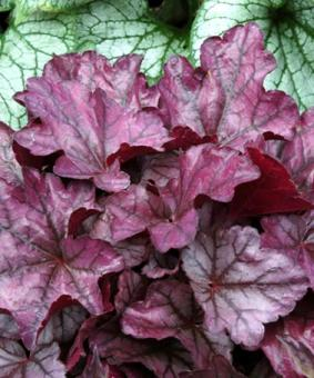 Heuchera 'Plum Royale' NEW 2018