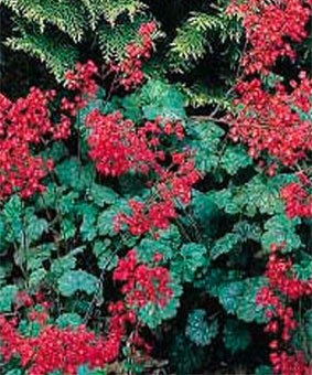 Heuchera 'Plue de Feu' ('Rain of Fire')