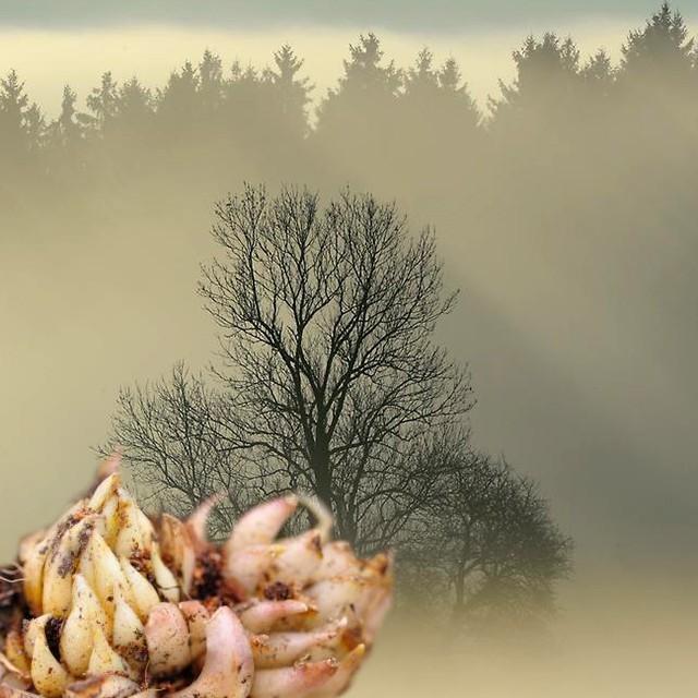 Сроки посадки лилий осенью