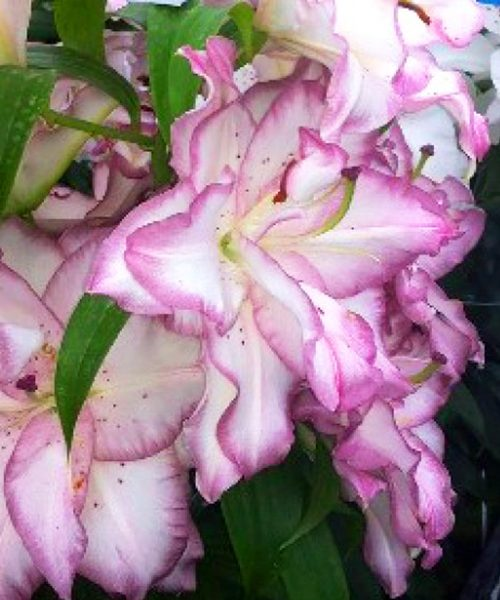 Lilium or Beautytrend