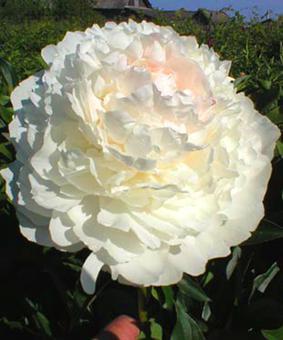 Paeonia 'Alice Harding'