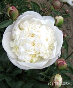 Paeonia 'Charles White'