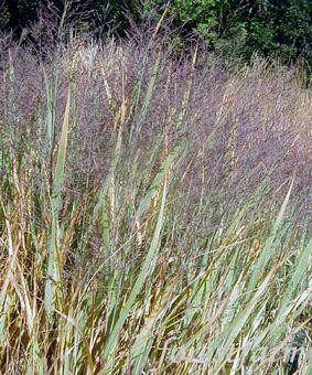 Panicum 'Dallas Blues'