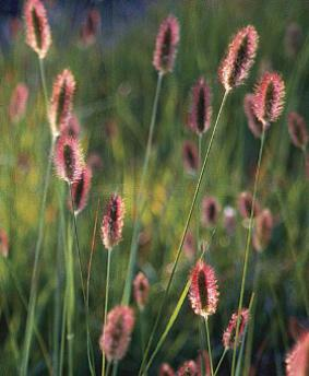 Pennisetum messiacum 'Red Bunny Tails'
