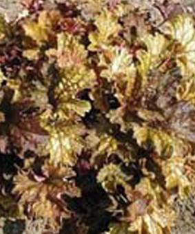 Heuchera 'Prince of Orange'