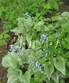 Brunnera macrophyla 'Silver Wings'