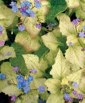 Brunnera macrophyla 'Spring Yellow'