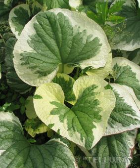 Brunnera macrophyla 'Variegata'