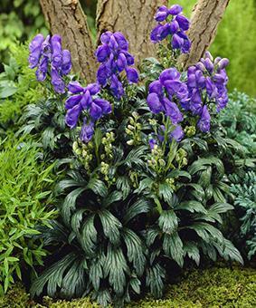 Aconitum x cammarum Blue 'Lagoon'