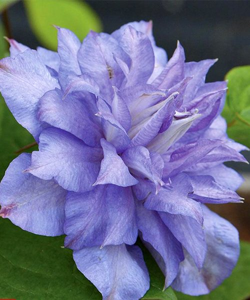 Clematis Blue Explotion фото