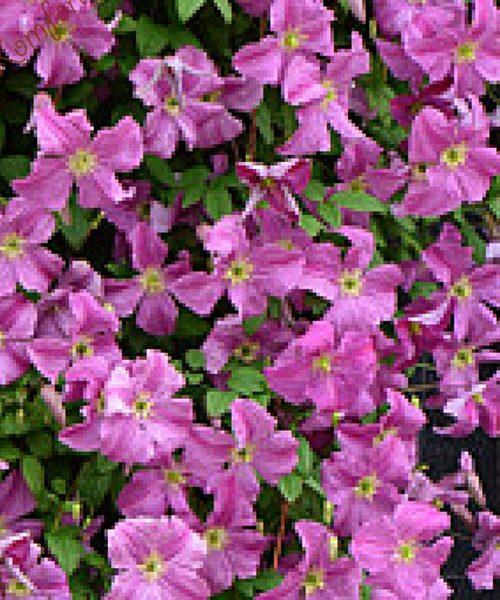 clematis Mazurek фото цветения общий план