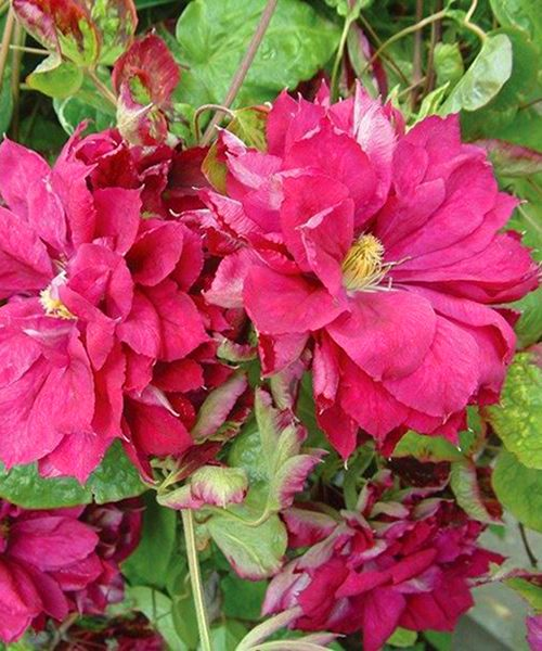 Clematis Red Star фото и описание