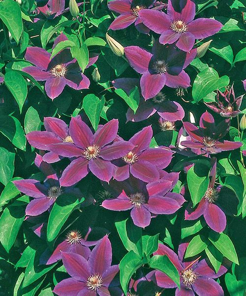 Clematis Wildfire общее фото цветущего растения