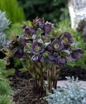 Helleborus orientalis 'Dark as Night'