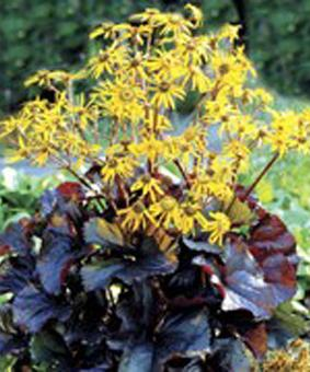 Ligularia dentata 'Dark beauty'