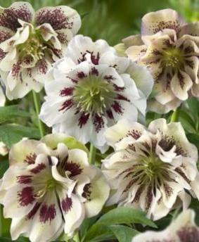 Helleborus orientalis 'Double Ellen White Spotted'