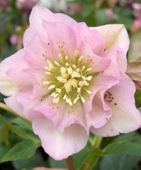 Helleborus orientalis 'Double Ellen Pink'
