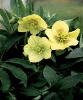 Helleborus hybr. 'Yellow Lady'
