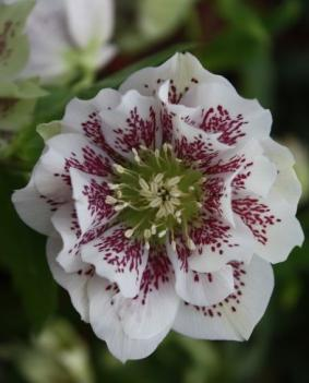 Helleborus orientalis 'Double Ellen Pink Spotted'