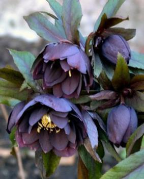 Helleborus 'Double Ellen Purple'