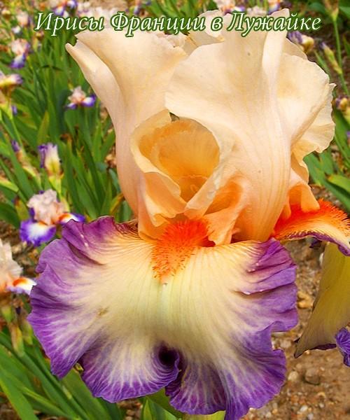 Iris germanica Folie Douce фото и описание