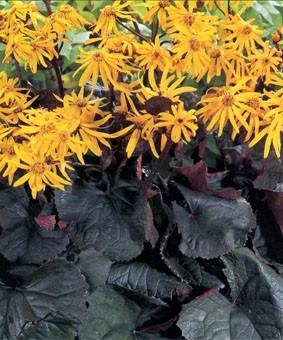 Ligularia dentata 'Otello'