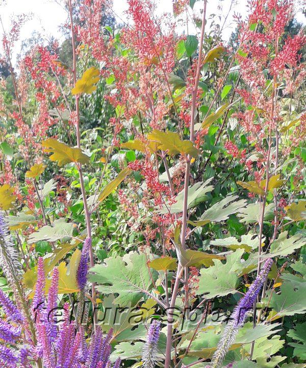 Маклея сердцевидная фото цветущих растений