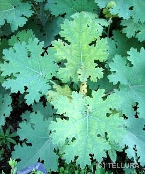 Маклея сердцевидная весной после начала отрастания листьев фото