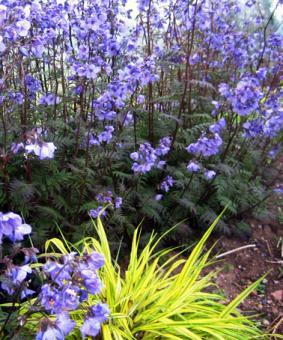 Polemonium reptans 'Purple Rain'
