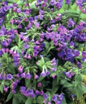 Pulmonaria angustifolia 'Blaues Meer'