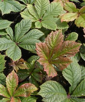 Rodgersia aesculofolia