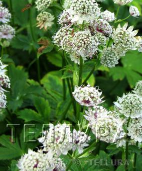 Astrantia major 'Sunningdale variegata'
