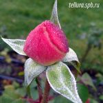 осенние заморозки в саду