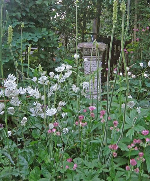 Astrantia major Shaggy в садовом дизайне фото