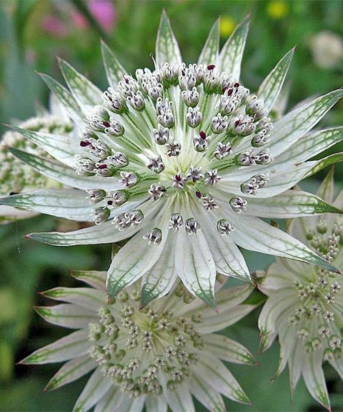 Astrantia major Shaggy фото цветка крупным планом