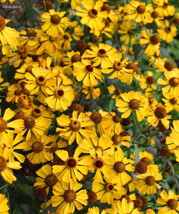 Helenium Beatrice массовое цветение в питомнике фото