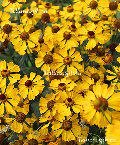 Helenium Beatrice фото цветущего растения