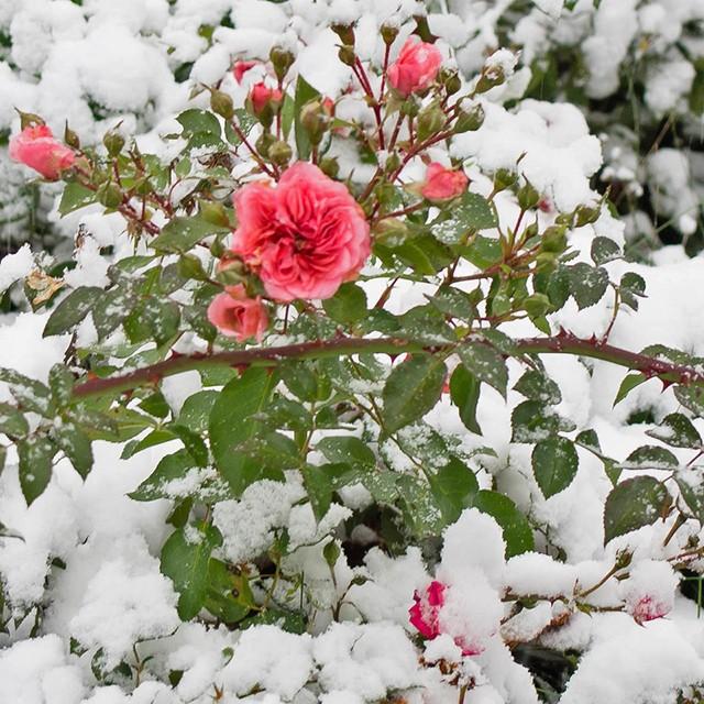 Какие растения нужно укрывать на зиму